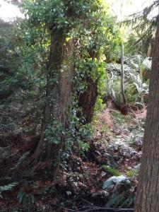 Ivy Covered Trees in Beach Estates Park Dec 2012