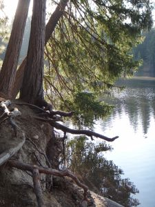 Exposed Roots, Lake Siskiyou, Mt Shasta 2011
