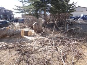 Felled Poplar Tree 2015