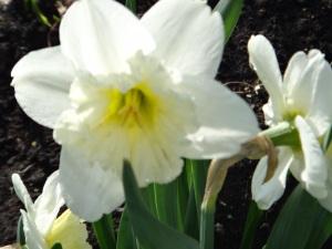 White Daffodils 2015