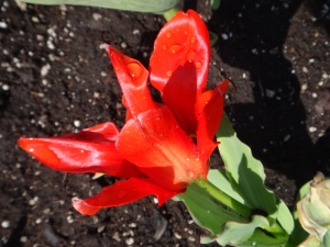 Red Tulip, Central Memorial Park, 2015