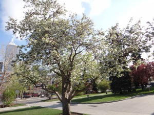 Blossoming Tree 2015