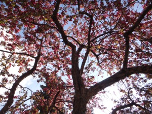 Pink Blossoms 2015