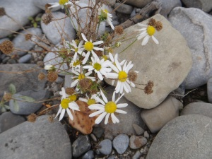 Wee Daisies in October!