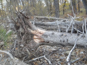 Uprooted Tree from 2013 Flood, Okotoks, AB, Oct 12, 2015