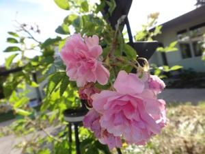 September 18, 2015 Roses still!