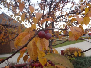 Autumn Plums & Leaves October 2015