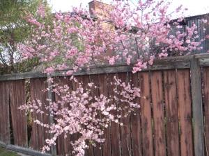 May Blossoms 2016