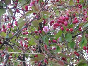 Apple Blossoms 2016