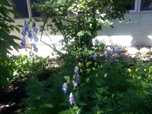 Monkshood2